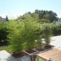 bambous en alsace